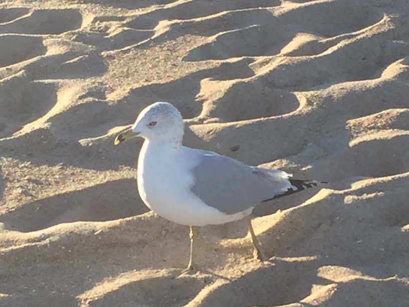 Wandering seagull
