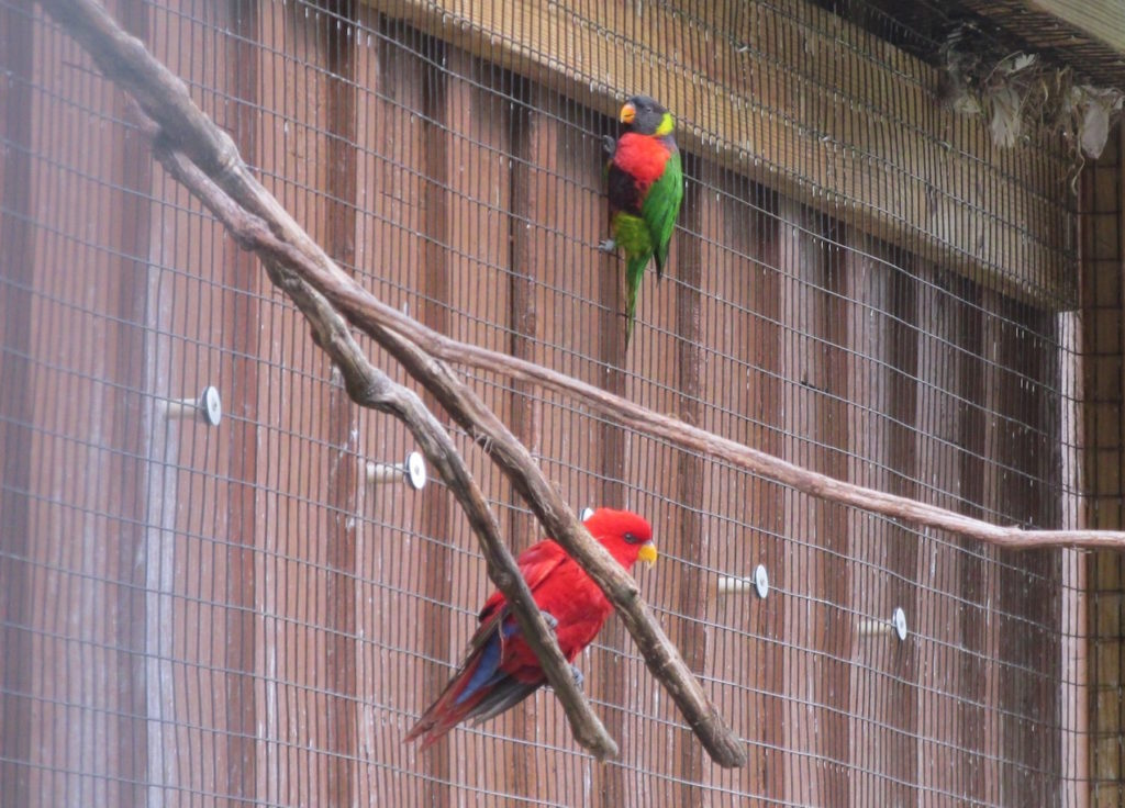 Lorikeet and Red Lory