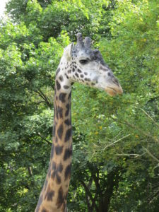Murphy the Giraffe